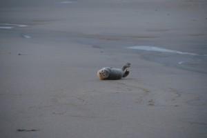 Die kleine Robbe - ihr Schicksal nahm ein gutes Ende!