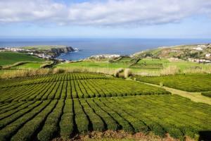 Panorama-Blick aus den Teefeldern - wirklich schön!